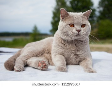 Lilac British shorthair cat, male, outdoor.