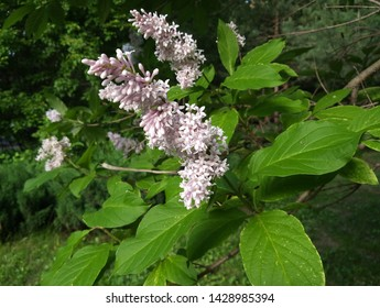 lilac bush bloom spring may