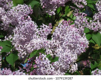lilac bush with green leaves