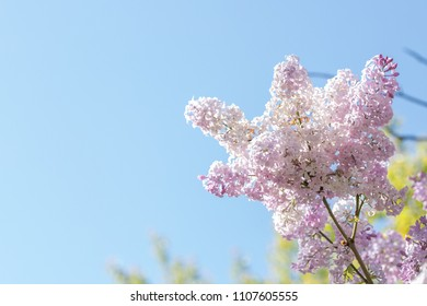 lilac bush on the sky