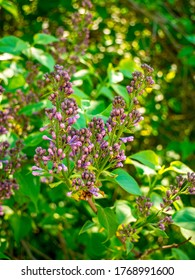 Lilac bush - Syringa vulgaris - view of branches with lots of closed buds