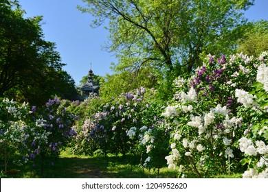 Lilac bushes in Kyiv Botanical garden