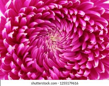 Lilac chrysanthemum flower closeup.