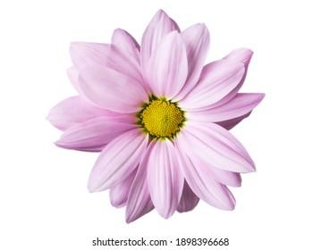 Lilische Chrysanthemum-Blume, Nahaufnahme auf weißem Hintergrund