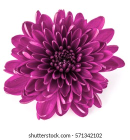 Lilac chrysanthemum flower isolated on white background.