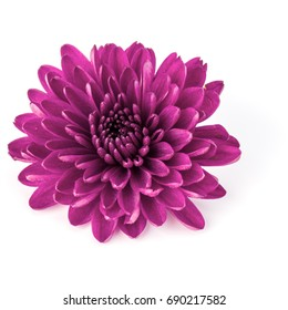 Lilac chrysanthemum flower isolated on white background