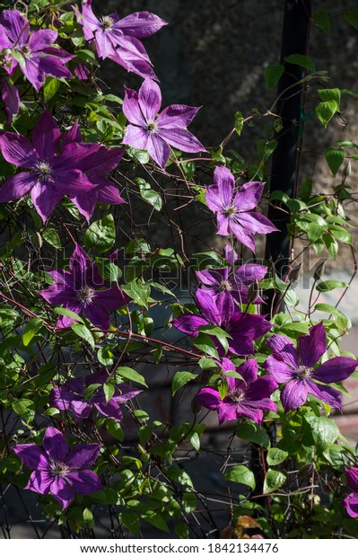 lilac-clematis-elegia-summer-flowering-6