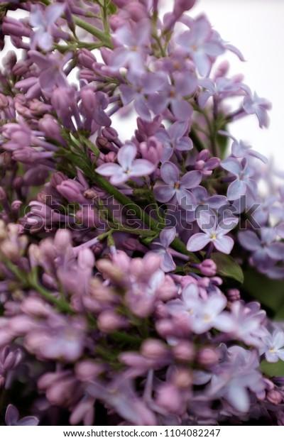 Lilac close-up. Details of lilac petals