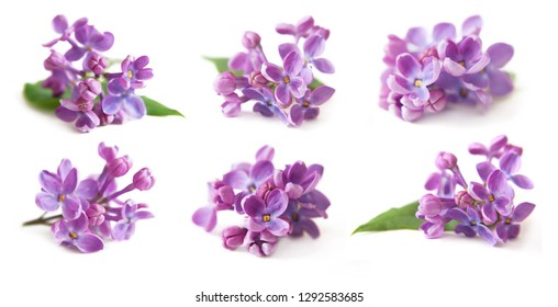 lilac closeup isolated on white background set