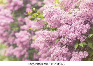 Lilac or common lilac, Syringa vulgaris in blossom. Purple flowers growing on lilac blooming shrub in park. Springtime in the garden. Toned and processing photo