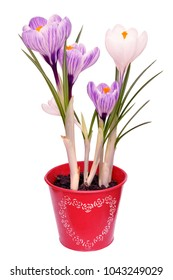 Lilac crocuses in a red pot with heart isolated on a white background.