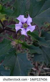 lilac datura flower with green leaves