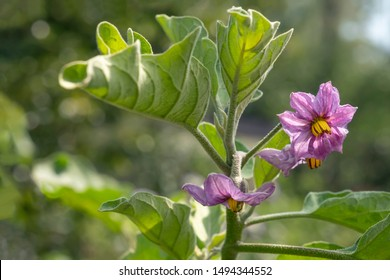 Lilac eggplant flower blooming vegetable. Autumn flower close-up. Soft focus