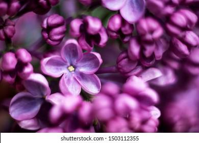 lilac with five petals closeup