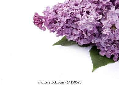 Lilac flower isolated on white