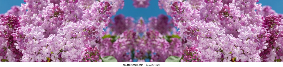 Lilac flower pink spring background. Springtime in the lilac park.  Floral background. Shallow depth of field.