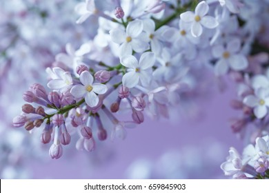 The lilac flowers.