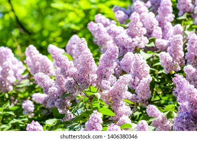 Lilac flowers in blooming spring. Spring lilac blossoms. Lilac flowers in spring. Spring blooming lilac flowers