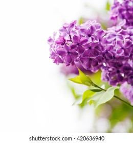 Lilac flowers bouquet on white background, soft focus, copy space. Springtime greeting card template with violet flower pattern