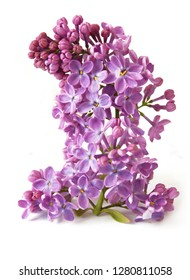 lilac flowers branch closeup isolated on white background