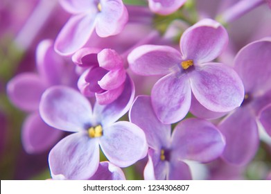 lilac flowers bunch closeup background