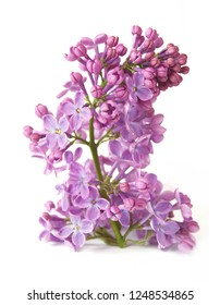 lilac flowers bunch closeup isolated on white background