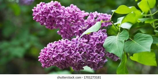Lilac Blumen im Garten im Frühling.Gartenarbeit.