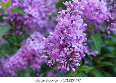 Lilac flowers in the garden in springtime. Gardening.
