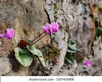 lilac flowers grow in a stone wall