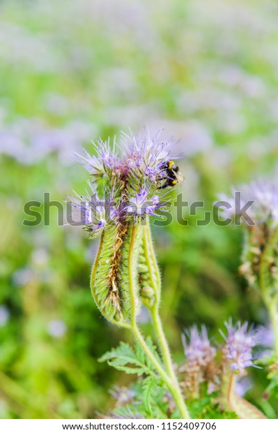 Lilac flowers of honey plants lacy phacelia or purple tansy (Phacelia tanacetifolia) and bumblebee
