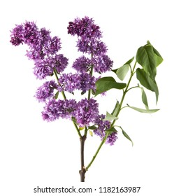 Lilac flowers isolated on white background. As an element of packaging design.