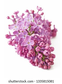 lilac flowers isolated on white background