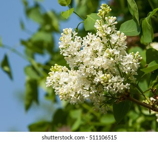 lilac flowers.  Large garden shrub with purple or white fragrant flowers.