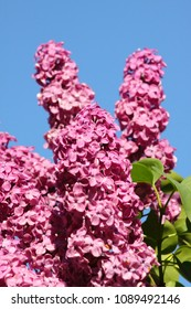 Lilac flowers, macro