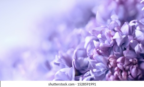 lilac flowers macro. blurred background with lilac delicate flowers. floral background with branches of flowering lilac.