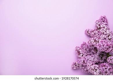 Lilac-Blumen auf Farbhintergrund. Der Frühling kommt. Textbereich