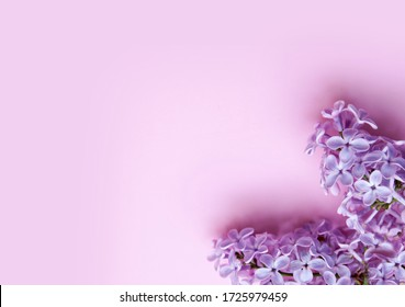 Lilac flowers on a pink background. Spring concept with copy space.
