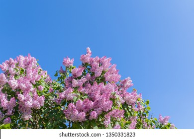 Lilac flowers over blue sky background in sunlight day