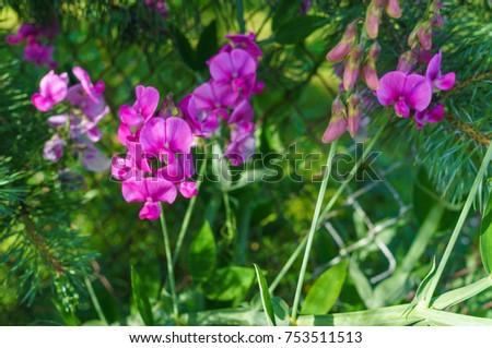 Lilac Flowers Perennial Winter Peas Garden Stock Photo Edit Now