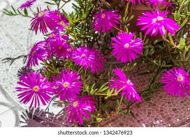 Lilac flowers of Portulaca, Spain.