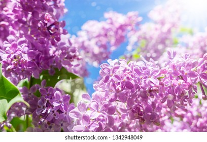 Lilac flowers - purple lilac in the sunshine