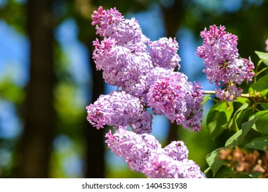 Lilac flowers in spring nature scene. Spring lilac blossom. Spring blooming lilac blossom