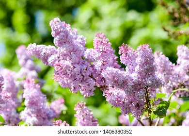 Lilac flowers in spring view. Spring lilac blossom scene. Lilac flowers in spring blooming. Spring lilac flowers bloom