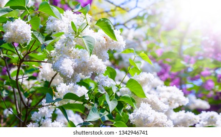 Lilac flowers - white lilac in the sunshine