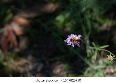 Lilac Grass-leaved Scabious flower in St. Gallen, Switzerland. Its Latin name is Lomelosia Graminifolia Syn Scabiosa Graminifolia , native to central and southern Europe.