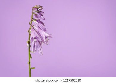Lilac inflorescence hosta against the same color.