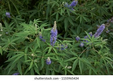 lilac inflorescence of Vitex agnus castus shrub