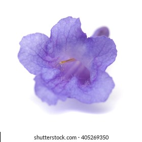 lilac jacaranda flowers isolated on white background