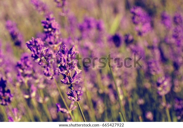 Lilac lavender flowers field with blurred green grass in the background. Sunny summer weather. Fashion vintage style, faded colors.