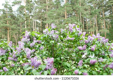 Lilac on a border of the forest